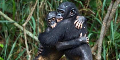 Bonobos-2
